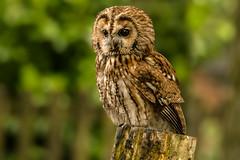 perched (jeff.white18) Tags: tawnyowl owl preditor bird birdofprey nature feathers eyes flickr