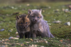 Lean on me (shimmer5641) Tags: vulpesvulpes redfoxkits renardeauxroux canidae family canidaefamily mammal redfox