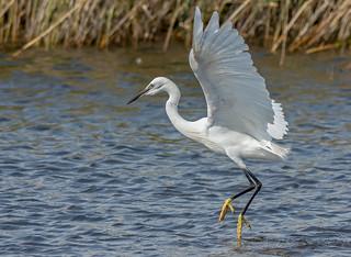 JWL8480  Little Egret..
