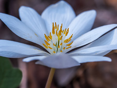 Bloodroot (Shannonsong) Tags: bloodroot wildflower spring forest stamens white petals wv nature macro