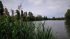 A nádas rejtekében (Szombathely) (milankalman) Tags: reedy lakeside water landscape cloudy spring nature