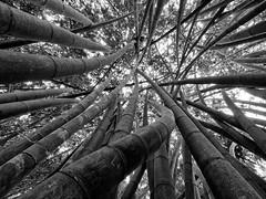 P3031940 (ernsttromp) Tags: srilanka olympus omd 918mmf456 mzuiko microfourthirds mirrorless mft m43 blackandwhite bw monochrome bamboo 4x3 2018 em10 kandy botanic lines chaos nature
