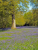 Oak Tree & Bluebells (Cornishcarolin. Stupid busy!! xx) Tags: cornwall penryn httpwwwenysgardensorguk flowers nature bluebells trees