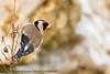 Chardonneret élégant (Carduelis carduelis - European Goldfinch) (christiane-krysia) Tags: oiseau bird goldfinch chardonneret
