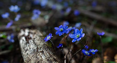 Spring (Rock-paper-scissors) Tags: liverleaf hepatica flower nature spring conifer forest plant growth sprout blue