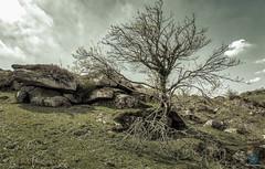 Haytor - Dartmoor (pm69photography.uk) Tags: haytor dartmoor trees tree sonya7r3 sonya7riii ilce7rm3 sony1635mmf28 sony1635mm28 sonygmaster sony1635mm 1635mmf28 moody moors moor southwest devon atmospheric atmosphere
