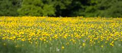 What's up buttecup (ArtGordon1) Tags: buttercup buttercups wildflowers flowers may 2018 thegreatcircle waterworkscorner davegordon davidgordon daveartgordon davidagordon daveagordon artgordon1