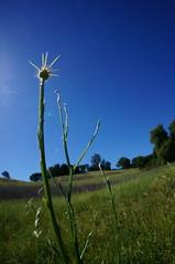 Anglų lietuvių žodynas. Žodis centaurea solstitialis reiškia <li>centaurea solstitialis</li> lietuviškai.