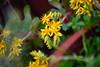 Sedum palmeri (_elanna_) Tags: sedum sedumflowers yellowflowers fiore fiori fiorigialli pianta piantagrassa succulent natura nature garden giardino nikon nikond3400 55200 sedumpalmeri