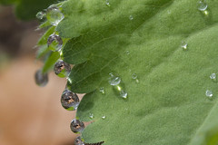 Clinging to a Jagged Edge (brucetopher) Tags: macromondays jagged green leaf guttation droplet drops drip dripping wet rain dew droplets bead beads light reflection focus