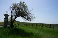 Pálava, Czech Republic (Marek Soltysiak) Tags: czechia czech republic moravy moravia palava mikulov hills wine vino sun spring hike walk green