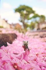 rise (MeowPawJournals) Tags: spring sakura cherrytree petals flowers pink flor petalos florrosada durazno cerezo primavera