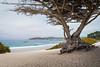 Cypress Tree, Carmel Beach (kkorsan) Tags: california carmel cypress highway1 pacifichighway cypresstree carmelbeach carmelbythesea unitedstates travelphotography