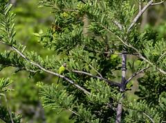 20180421-0I7A3985 (siddharthx) Tags: bird birdwatching birdsinthewild birdsofindia canon canon7dmkii catchment chandrampally chandrampallydam chandrampallynaturereserve chincholi chincholiforest chincholinaturereserve dawn daytrips ef100400mmf4556lisiiusm forest goldenhour gottamgutta habitatscrubland pristine promediageartr424lpmgprostix reservoir rivulet scrubforest sunrise telanganakarnatakaborder wild wildbirds wildlife gottamgotta karnataka india in plumheadedparakeet parakeet parrot chandrampalli