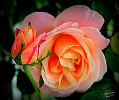 Parfum de rose / 4 (Michel Craipeau) Tags: 2018 canon craipeau craipeaumichel eclosion eos600d eosrebelt3i fleur fleurs floraison flower flowers france jardin macro mai2018 michel nantes notrejardin rose roses sigma18300mmf3563dcmacrooshsm