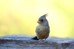 Image2230RR (staffordlaura1955) Tags: pyrrhuloxia bird birds songbird songbirds nature wildlife animal desert