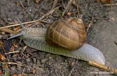 Helix pomatia - Roman snail - Weinbergschnecke, Zürich Fallätsche (Sekitar) Tags: fallätsche zürich switzerland üetliberg albis alam nature spring frühling printemps helix pomatia roman snail weinbergschnecke