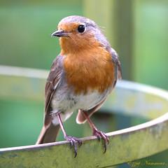 Rouge-Gorge familier Robin (Ezzo33) Tags: france gironde nouvelleaquitaine bordeaux ezzo33 nammour ezzat sony rx10m3 parc jardin oiseau oiseaux bird birds specanimal rougegorge robin