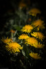 Trail of gold (The Frustrated Photog (Anthony) ADPphotography) Tags: buyukpark category eskisehir flora turkey dandelion flower weed yellow plants park grass lawn macro macrodreams macrophotography sigma105mmmacro canon70d canon outdoor closeup narrowdepthoffield