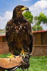 The King ! (@Katerina Log) Tags: king eagle katerinalog bird feathers beak look bokeh depthoffield outdoor daylight attikazoopark sonyilce6500 nature natura wild wildlife wildanimal carnivorous portrait