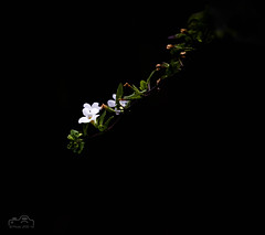 Bacopa White (John R Woodward Photography) Tags: bacopawhite flower white nature mothernature canon canondslr canoneos canonllenses canon5dmarkiv llenses