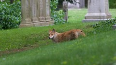 eastern coyote (adult female) (quadceratops) Tags: massachusetts nature cambridge watertown mount auburn cemetery eastern coyote