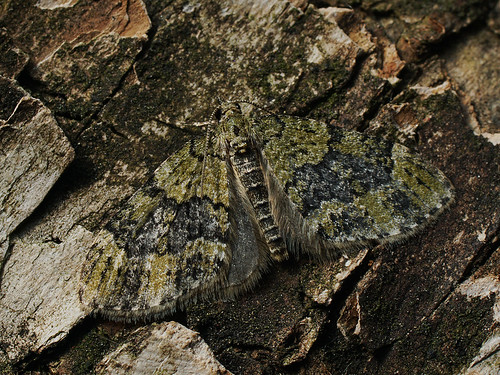 Acasis viretata - Yellow-barred brindle - Лопастная пяденица зеленоватая