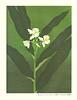 Ginger-lily (Japanese Flower and Bird Art) Tags: flower gingerlily hedychium coronarium zingiberaceae yasuko onishi modern woodblock picture book print japan japanese art readercollection
