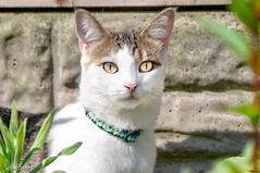 Lea (Bob Edwards Photography - Picture Liverpool) Tags: cat animal pet lea fur white tanny whiskers eyes nature bobedwardsphotography