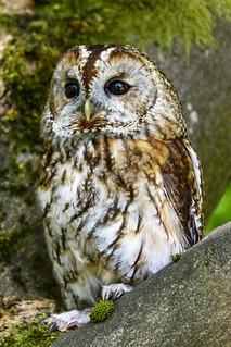139/365 Tawny Owl
