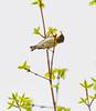 Catching Lunch (John Kocijanski) Tags: northernparula bird wildlife animal nature warbler canon70300mmllens canon7d