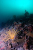 ScotlandWest-201804-Oban-AulistonPt-5-Echinoderm-Featherstar-OnSlope-AntedonBifida (Tony J Gilbert) Tags: wwwlochalineboatscouk scotland scubadiving marine diving marinefish nikond300 60mmlens 105mmlens underwater underwaterphotography travel travelogue scottishtravel scottishscubadiving scottishlandscapes scottishwildlife