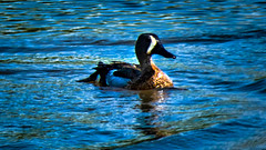 _1070596_a-1 (ron_kuest) Tags: ronkuest bluewingedteal