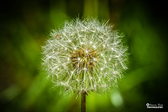 Taraxacum officinale, the common dandelion, is a flowering herbaceous perennial plant of the family Asteraceae (Cosmin Sicoe Photography) Tags: dandelion flower summer sun spring park relax ref reflections closeup nature nikon d5600
