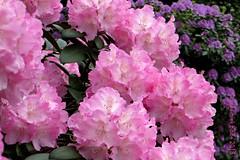 RHODODENDRON || RODODENDRON (Anne-Miek Bibbe) Tags: rhododendron rododendron arboretumtrompenburg mei may mai maggio maio voorjaar spring frühling primavera printemps lente bloei bloemen flowers flor flores bloom blumen fleur fleurs fiori fioritura canoneos700d canoneosrebelt5idslr annemiekbibbe bibbe nederland 2018