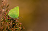 Green Hairstreak (Peter Quinn1) Tags: derbyshire greenhairstreak butterfly derwentmoors moorland heather