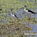 Black-necked Stilt, Himantopus mexicanus_199A6134