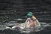 Popped up (Prismensucher) Tags: ente duck erpel water wasser auftauchen poppedup