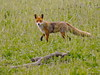 Red fox (Corine Bliek) Tags: vulpesvulpes carnivora predator zoogdieren wildlife nature natuur mammals roofdieren predators oostvaardersplassen