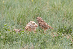 Burrowing Owl mating sequence - 22 of 22