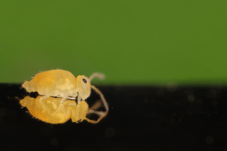 Deuterosminthurus pallipes forma repandus