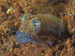 Bobtail Squid (oceanzam) Tags: ocean sea water underwater nature animal light dark shadow art scuba diving squid travel color colorful beach holiday vacation seashore summer philippines anilao shore