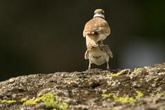 Tiito /  Killdeer (Charadrius vociferus) (Gogolac) Tags: 2018 aves bird birdphotography birdie birds canon7dmii charadriusvociferus fauna killdeer location primavera season tiíto year birdspot birdingrd birdsspotters republicadominicana