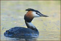 N° 948 / Grèbe huppé ( Podiceps cristatus )  Focus Distance : 7.94 m (Norbert Lefevre) Tags: grèbe huppé plumage bokeh nikon d500 300mmf4