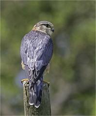 Merlin (m) (Charles Connor) Tags: merlin owls raptors birdsofprey birdphotography smallbirds naturephotography feathers plumage detail beautifuleyes beautyofnature beauty canon5d3 canonef100400mmmk2lens