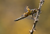 Four Spot Chaser (ToriAndrewsPhotography) Tags: four spot chaser dragonfly fingringhoe reserve essex wildlife trust photography andrews tori