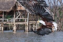 Pygargue en éventail / Rien n'arrête le lac (colibry68) Tags: oiseaux kenya rift baringo aigle pygargue jossh68