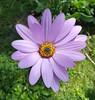 Osteospermum, African Daisy, Cape Daisy (alisondickens1) Tags: osteospermum african daisy cape garden flower osteospermumsp africandaisy capedaisy gardenflower