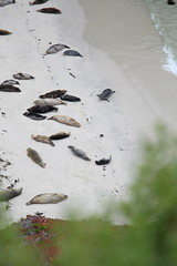 (andthensom) Tags: carmel monterey california beach sealions pointlobos