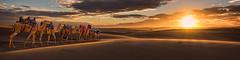 Camel Riders (Ray Jennings AU) Tags: sunset camels nikond810 tamron1530 rayjennings sanddunes sandhills